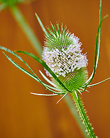 Teasel with tiny flowers. Image taken with a Nikon D850 Camera and 70-300 mm VR lens
