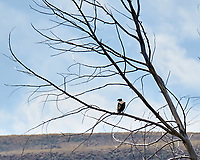 Golden Eagle (Aquila chrysaetos). Arapaho National Wildlife Refuge, Colorado. Image taken with a Nikon D300 camera and 200 mm f/2 VR lens with a 2.0x TC-EII teleconverter.