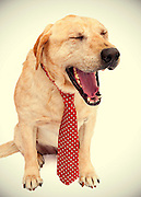 Yellow lab yawns during photo shoot to help him get adopted.
