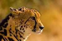A cheetah named Sam at the Hoedspruit Endangered Species Centre, near Kruger National Park, South Africa