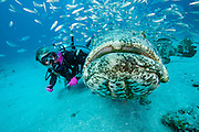 Scuba Diver and Goliath Grouper, Epinephelus itajara, and Cigar Minnows, Decapterus punctatus, swim side by side near the shipwreck of the Zion in Jupiter, Florida, United States.