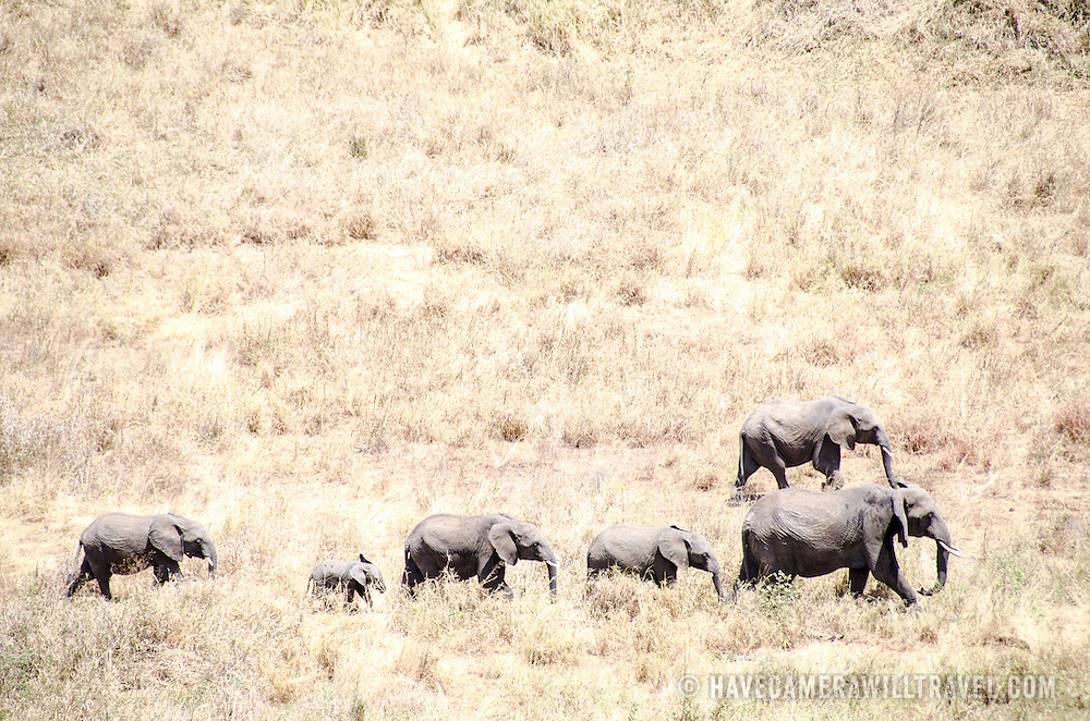 A herd of elephants crosses an area of grass at Tarangire National Park in northern Tanzania not far from Ngorongoro Crater and the Serengeti.