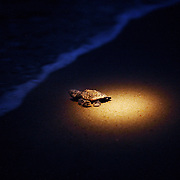 A volunteer's headlight guides a newly hatched sea turtle into the waters of Wrightsville Beach, NC. Baby turtles often follow the brightest object they can see, so when possible volunteers help the hatchlings find the ocean by trailing flashlights along the correct path.