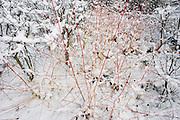 Frozen shrubs detail landscape in Dulwich Park, south London during mid-winter snow.