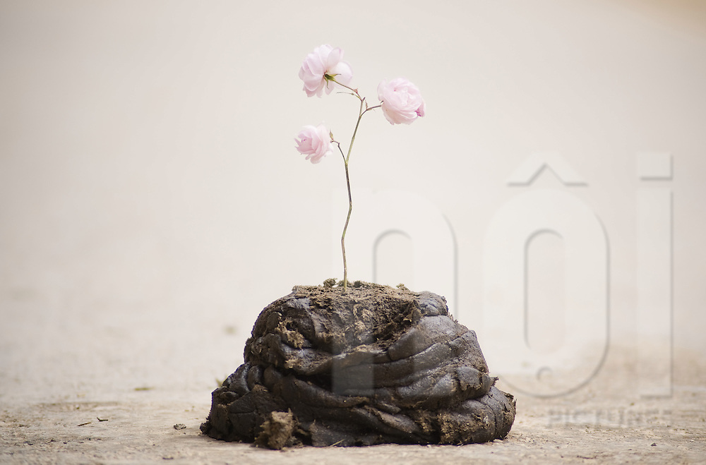 A pink flower is hammered in a cow dung. Ha Giang province, Vietnam, Asia