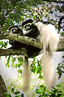 Two Colobus monkeys sitting in a tree. Wildlife and nature photography prints. Wall art and stock images.