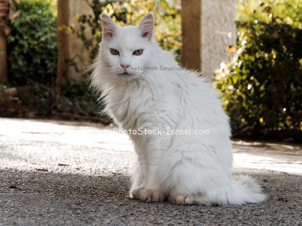 Furry white Persian Cat looking at camera