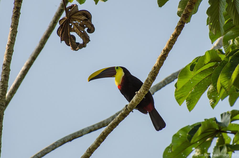 Chestnut-mandibled Toucan (Ramphastos swainsonii), near Boca Tapada, Costa Rica