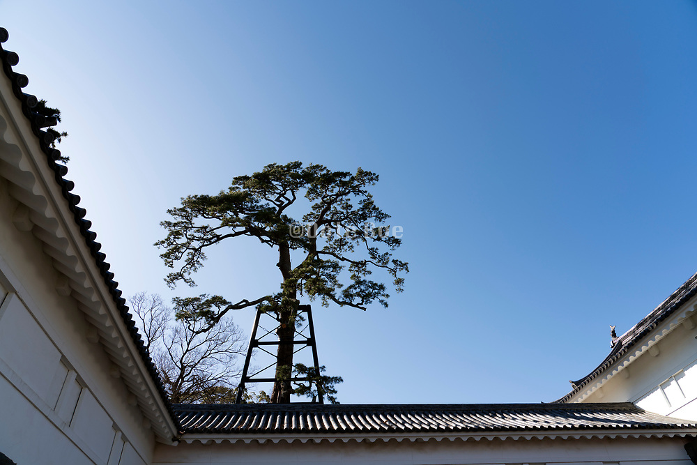 the very old and big pine tree at Odawara castle Japan