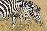 Baby zebra suggles up to its mother.