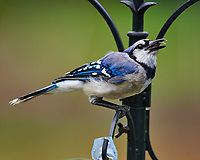 Blue Jay. Image taken with a Nikon D4 camera and 600 mm f/4 VR telephoto lens
