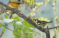 Flame-faced tanager, Tangara parzudakii lunigera (right), and golden tanager, Tangara arthus goodsoni. Tandayapa Valley, Ecuador
