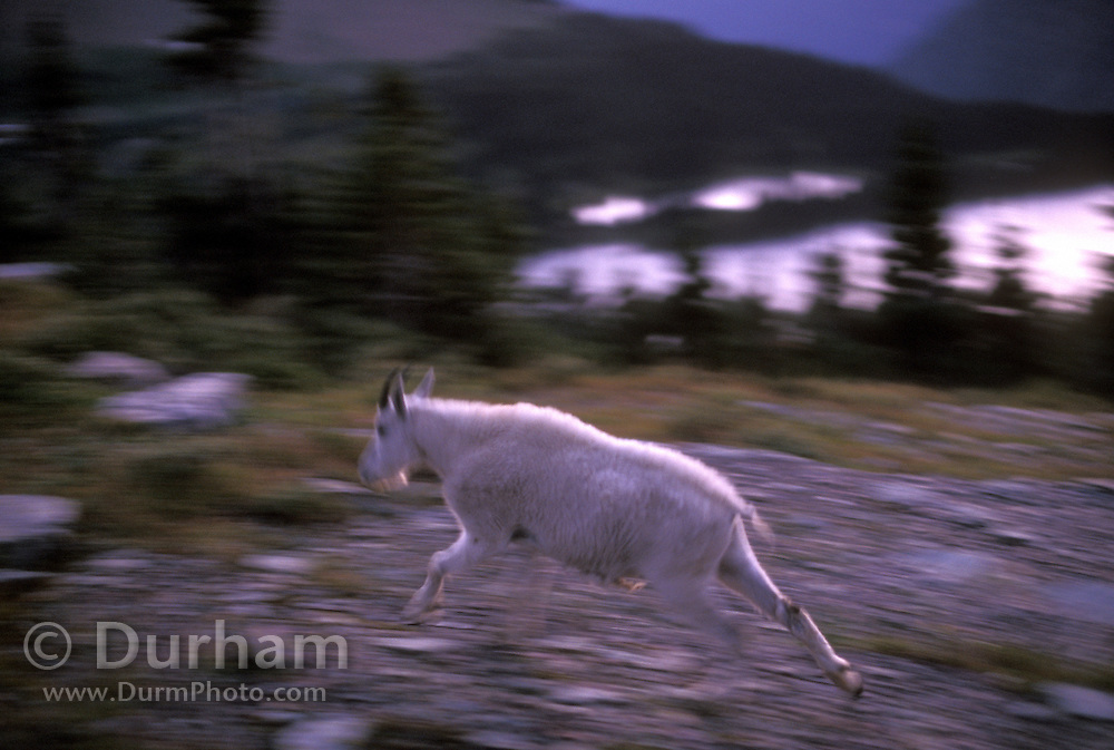 A mountain goat (Oremanos americanus) nanny runs by an alpine lake near Logan Peak in Galcier National Park, Montana