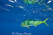 dorado, mahi mahi, mahi-mahi, dolphinfish, or dolphin fish, Coryphaena hippurus, off Isla Mujeres, near Cancun, Yucatan Peninsula, Mexico ( Caribbean Sea )