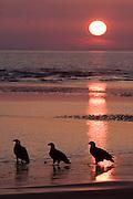 Bald Eagle, Haliaeetus leucocephalus, Kenai Peninsula, Homer Spit, Homer, Alaska. Digital original, #2006_1589 ©Robin Brandt