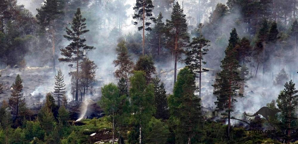 FROLAND, AUST-AGDER, 20080613:<br /> Slukking rundt Belland  i Froland fredag. Tettstedet er evakuert og var truet av flammene torsdag . Oversiktbilde av skog med røyk mellom trærne. <br /> Foto: Tor Erik Schrøder / SCANPIX