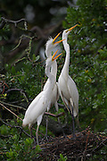 Stock photo of great egret chicks captured in Florida.  A patch os skin on the face turns green during breeding season.