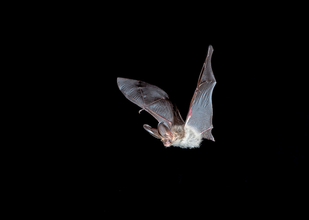 Brown Long-eared Bat Plecotus auritus Wingspan 24-28cm Distinctive bat. Flight is slow with fluttering wingbeats. Adult has fluffy, long fur, buffish brown above and buffish white below. Ears are very long, pinkish brown with numerous transverse folds. Face is pinkish brown and wings are brown. Squeaks when alarmed. Echolocates in 30-40khz range. Widespread. Favours wooded habitats, including mature gardens and hedgerows as well as deciduous and mixed woodland. Emerges from roost after dark. Roosts in tree holes and bat boxes in summer, hibernates in roofs, cellars and caves.