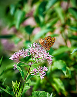 Great Spangled Fritillary Butterfly (Speyeria cybele) with a torn wing on a Thistle Flower. Image taken with a Nikon D3 camera and 300 mm f/2.8 VR lens