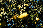 Israel, Hula Valley, Kibbutz Hulata, Citrus Grove pomelo trees close-up of the fruit