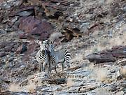 Endangered Hartmann's mountain zebra (Equus zebra) climb effortlessly up a rocky mountain slope along Namibia's Skeleton Coast, Skeleton Coast, Namibia