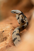 Coiled European cat snake (Telescopus fallax), ready to pounce on its prey This snake also known as the Soosan snake, is a venomous colubrid snake endemic to the Mediterranean and Caucasus regions.