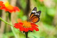 Cambodia Butterflies