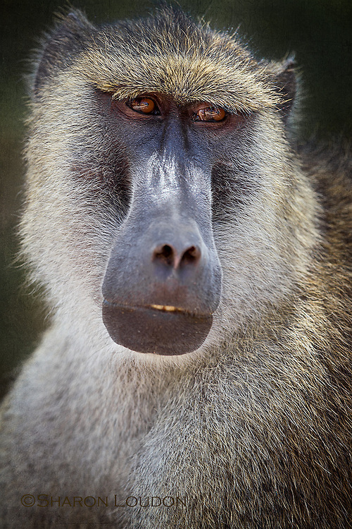 Pensive baboon - Amboseli