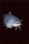 Blue Catfish, Underwater