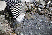 Salmon, eager to spawn, bottleneck near a gated culvert stream outlet in Valdez, Alaska at a popular fishing area close to the Alaska Pipeline terminal.