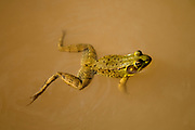 Overhead view of frog in action swimming in a pond