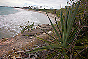 Cactus growing along the arid coast of Whale Bay in the Bosque Estatal de Guanica forest reserve in Puerto Rico considered the best example of dry forest in the Caribbean.