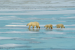 Photo: 20177..Canadas polar bear country around Churchill, Manitoba, at Gordon Point and nearby at Cape Churchill in Wapusk National Park on the south edge of Hudson Bay.  Photos of polar bears males, females, and cubs.  Fauna includes polar bears, arctic hares, and arctic foxes.  Landscapes of the tundra terrain and ice forming on Hudson Bay, plus sunrises and sunsets.  Polar bear viewing in Tundra Buggies while staying at the Tundra Buggy Lodge, operated by Frontiers North.  Photo copyright Lee Foster, 510-549-2202, lee@fostertravel.com, www.fostertravel.com.