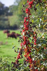 Black Bryony berries in a hedgerow. Tamus communis