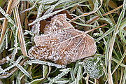 Hoar frost covered Sycamore leaf on grass, Oxfordshire, UK