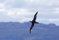 Giant southern petrel (Macronectes giganteus) seen in Chile.