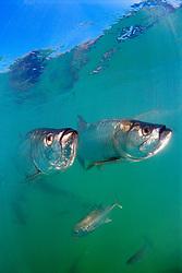 tarpons, Megalops atlanticus, and crevalle jacks, Caranx hippos, Islamorada, Florida Keys National Marine Sanctuary, Atlantic Ocean