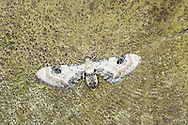 Lime-speck Pug Eupithecia centaureata Wingspan 16-19mm. A very narrow-winged pug whose wings are spread flat when at rest with a gap between hindwings and abdome. Adult has wing markings and colours that create the impression of a bird-dropping: the whitish forewings have a dark spot on the middle of the leading edge, and a buff band and dark lines. Double-brooded: on the wing April-August. Larava feeds on a variety of low-growing plants. Widespread and common.