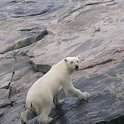 Polar bear (Ursus maritimus) on the shore of Wager Bay. Nunavut, Canada