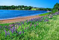 Lupins, near North Granville, Prince Edward Island, Canada