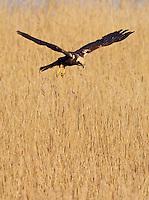 Marsh Harrier female (Circus aeruginosus) on Texel island , Texel, the Netherlands