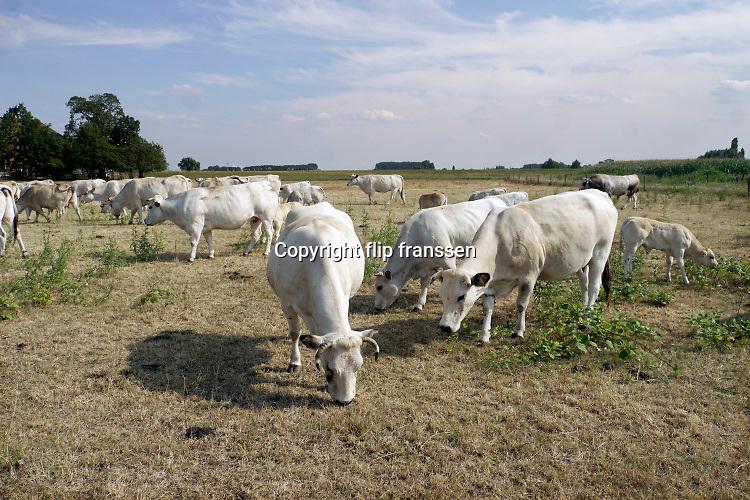 Nederland, Brummen, 19-7-2018 Deze Charolais koeien grazen in een vergeeld weiland . Het gras is verdroogd en geel door de droogte . Door het uitblijven van regen is het gras verdwenen . Foto: ANP/ Hollandse Hoogte/ Flip Franssen