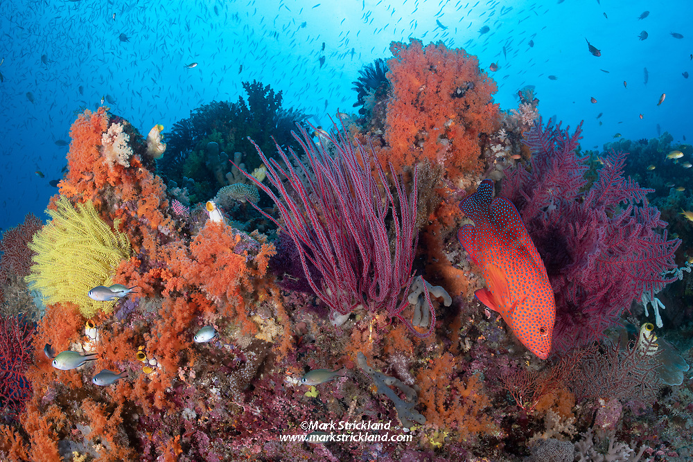 A Blue-spotted Grouper, Cephalopholis miniata, hovers among lush soft corals and gorgonians. Raja Ampat, West Papua, Indonesia