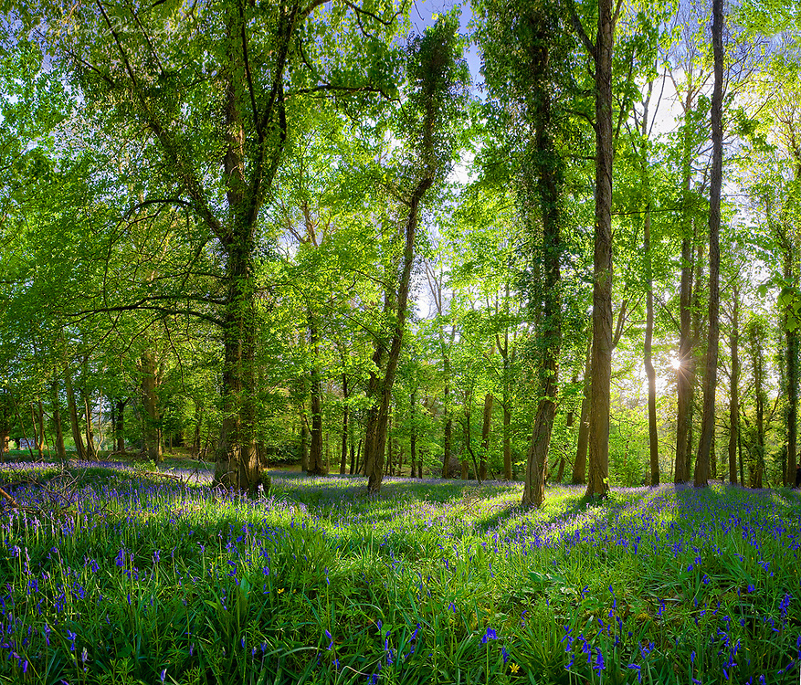 Woodland field covered in bluebells, County Kerry, Ireland / kl008