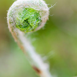 Fern fiddlehead in a hardwood forest in Epping, New Hampshire.