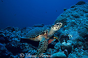 hawksbill sea turtle, Eretmochelys imbricata, with sneaky wrasse, Oxycheilinus unifasciatus, hiding underneath waiting to grab scraps from foraging, Layang Layang Atoll, Malaysia  ( South China Sea )