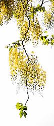 Golden Shower Tree, cassia fistula#2