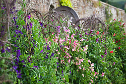 The sweet pea trial at Parham House. Lathyrus odoratus 'Strawberry Fields'in the centre