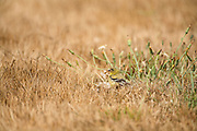 American Goldfinch in grass with Dandelions