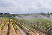 Crop irrigation with water sprinklers Photographed in the Northern Negev desert, Israel